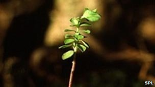 A common weed (petty spurge) for skin cancer.