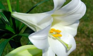 The Easter Lilly  – another lovely (safe and effective) remedy to consider