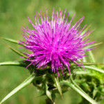 Milk Thistle SEED – a CORE ingredient